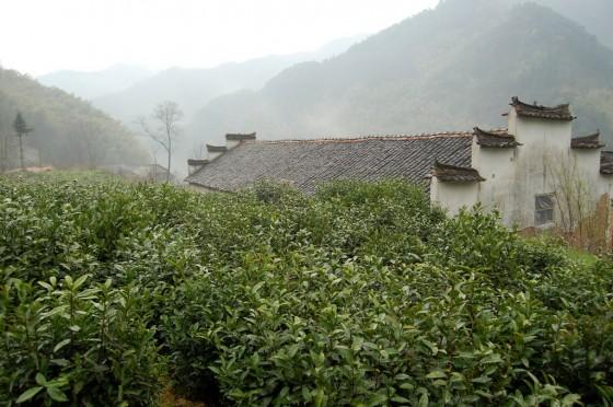 Liu An Green Tea Garden
